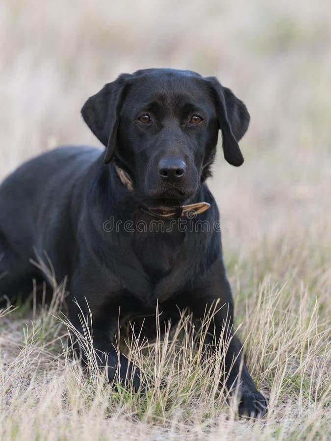 En svart labrador som lägger ner i gräset royaltyfri fotografi
