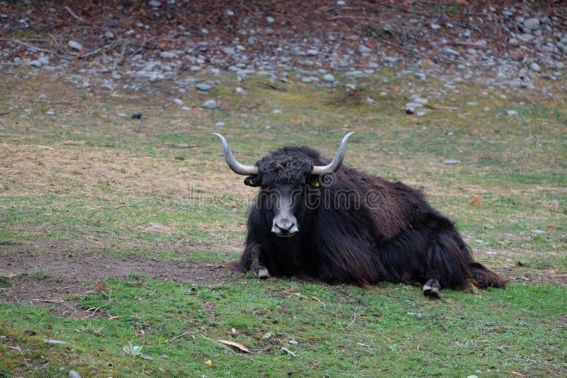 En svart stark oxe med det långa hornet royaltyfria foton