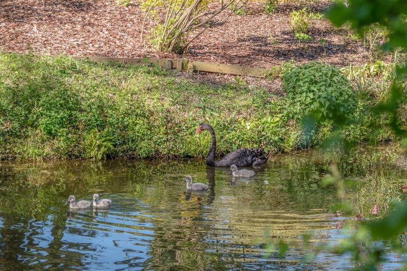 En svart svan med fyra unga svanar royaltyfria foton