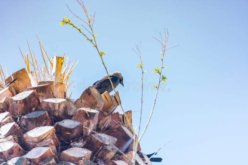 En svart ung korpsvart fågel fotografering för bildbyråer