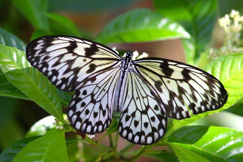 En svartvit fjäril på en växt arkivbild