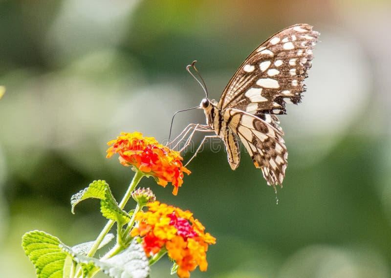 En svartvit ung fjäril som sitter på växten royaltyfria foton