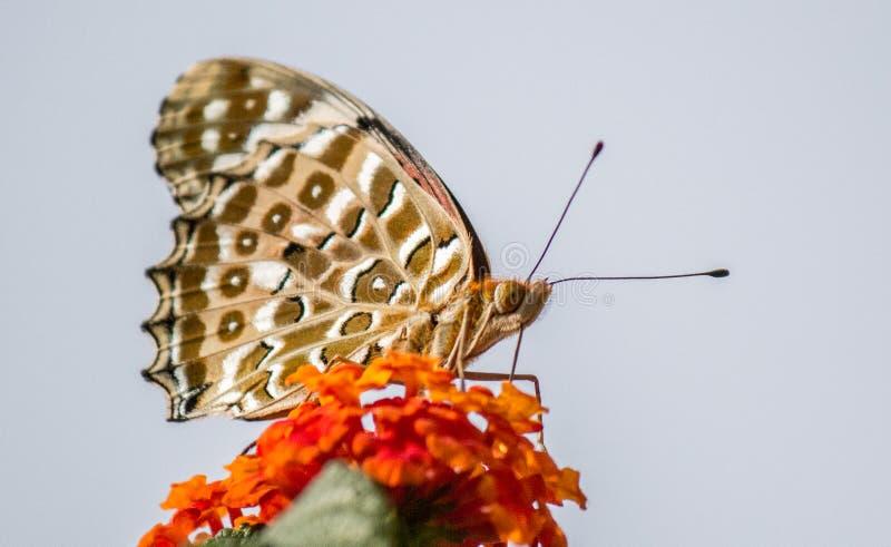 En svartvit ung fjäril som sitter på växten arkivfoto