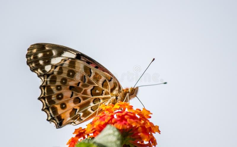En svartvit ung fjäril som sitter på växten royaltyfri fotografi