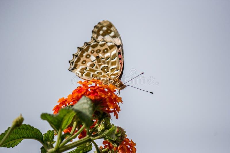 En svartvit ung fjäril som sitter på växten arkivbilder