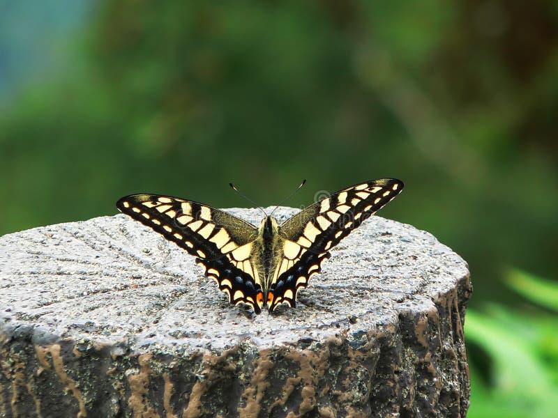 En swallowtailfjäril, Japan arkivbilder