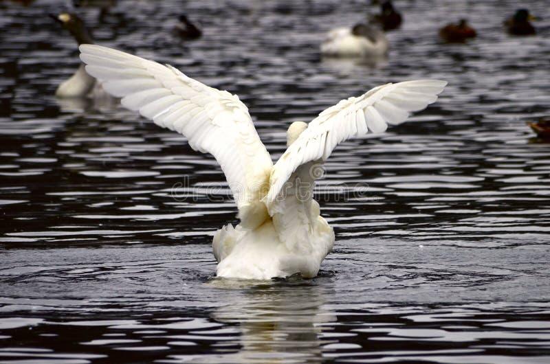 En swanflapping