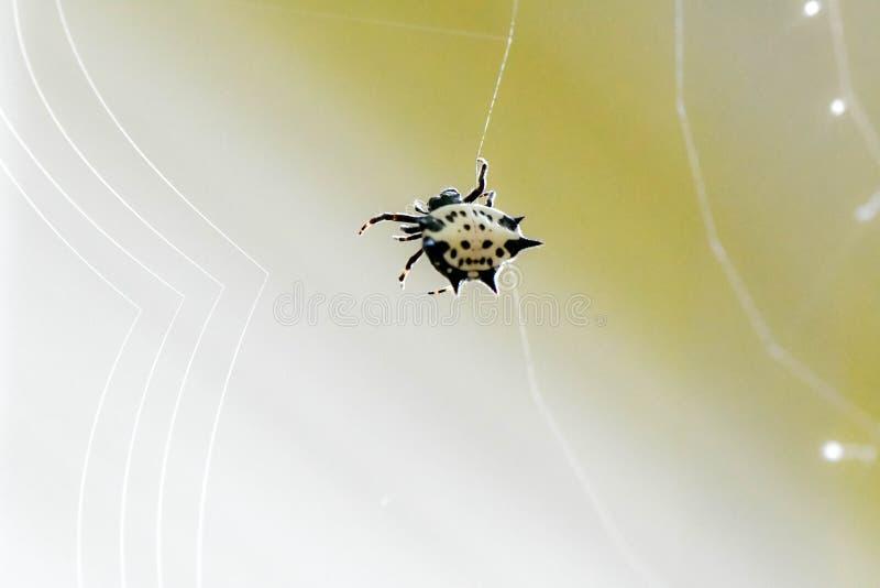En taggig dragen tillbaka orb-vävare spindel som väver dess rengöringsduk, Marietta, Georgia, USA royaltyfria bilder