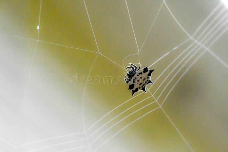 En taggig dragen tillbaka orb-vävare spindel som väver dess rengöringsduk, Marietta, Georgia, USA arkivbilder