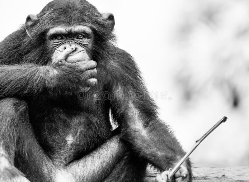En tala ingen onda Chmpanzee fotografering för bildbyråer