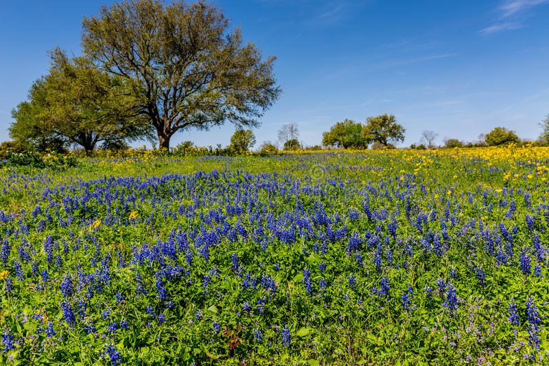 En Texas Field Covered med olika Texas Wildflowers arkivbild