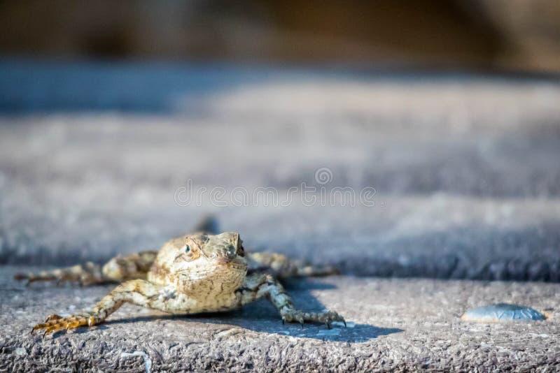 En Texas Spiny Lizard i Harlingen, Texas arkivbilder