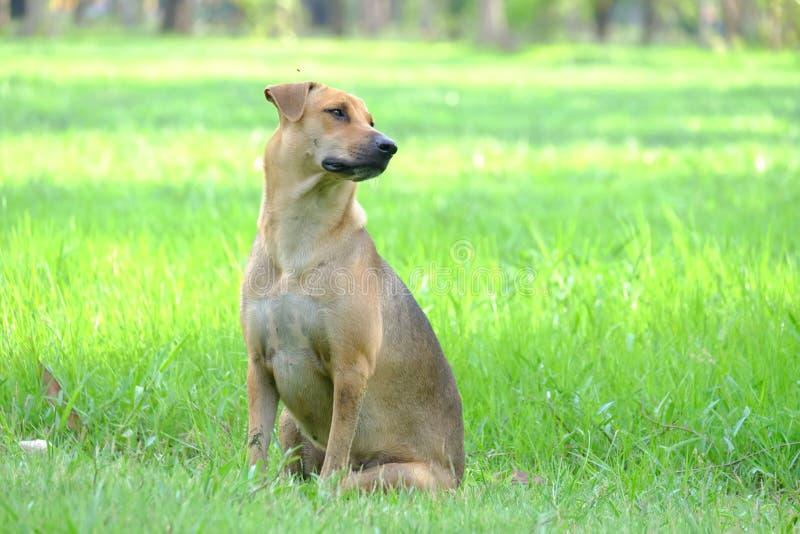 En thailändsk brun hund som sitter på fältet för grönt gräs arkivfoto