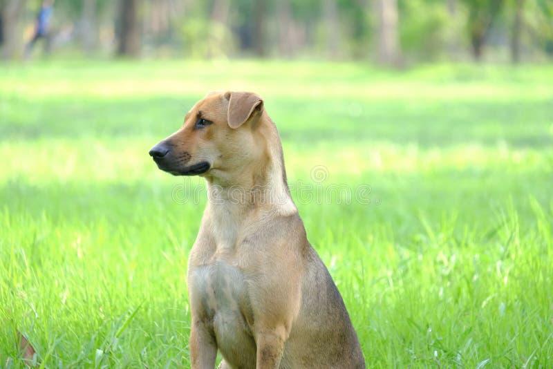 En thailändsk brun hund som sitter på fältet för grönt gräs fotografering för bildbyråer