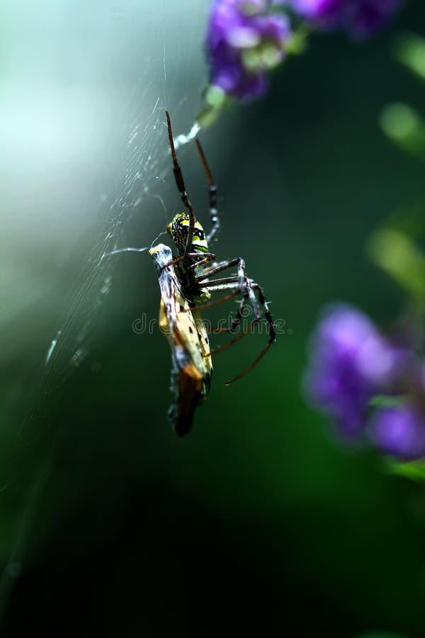 En thailändsk Orb Weaver Spider med ett fjärilsmellanmål arkivfoto