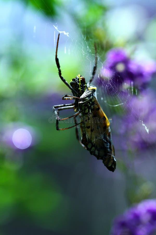 En thailändsk Orb Weaver Spider med ett fjärilsmellanmål royaltyfri fotografi