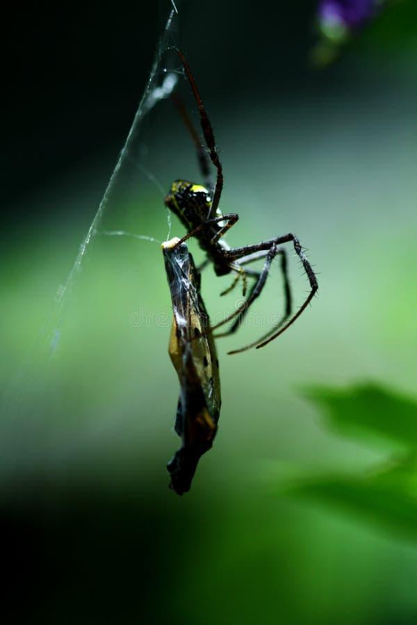 En thailändsk Orb Weaver Spider med ett fjärilsmellanmål arkivbild