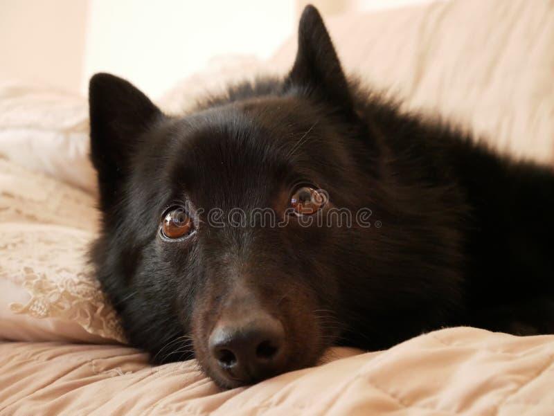 En thoughful svart hund royaltyfri bild