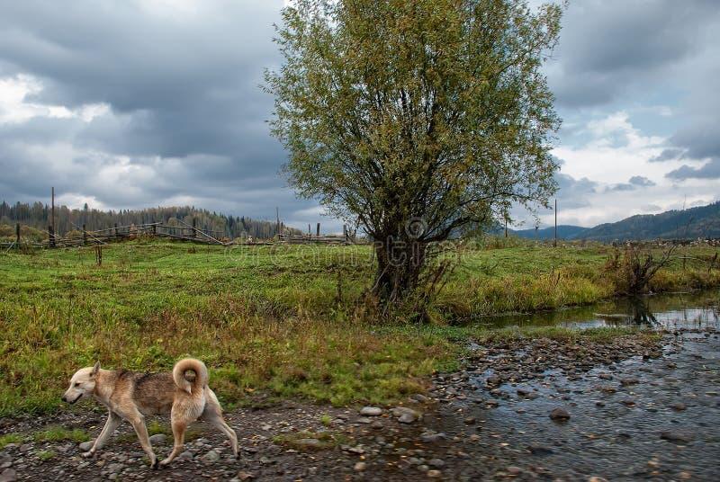 En tillfällig hund promenerar kusten av en ström på banken som växer av ett ensamt träd mot bakgrunden av ett bystaket a royaltyfria bilder