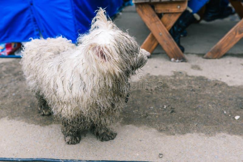 En tillfällig hund söker efter dess ägare Vit smutsig och våt hund Djuret ser med en ledsen blick på det övergående folket royaltyfri fotografi