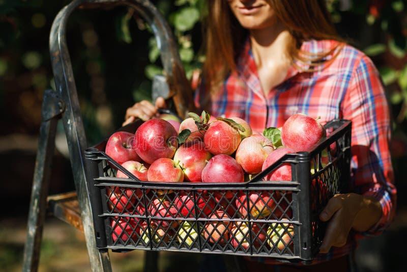 En tillfredsställd bonde rymmer en spjällåda mycket av mogna äpplen efter skörd royaltyfri foto