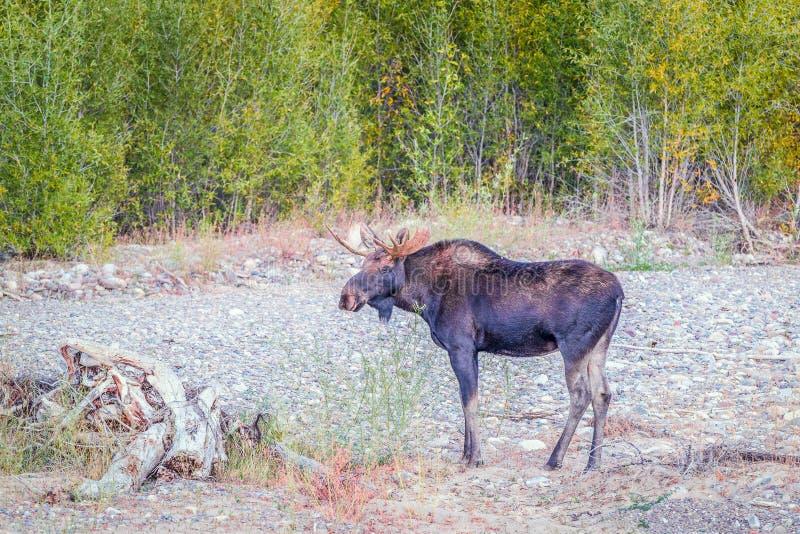 En tjurälg i den storslagna Teton nationalparken wyoming USA arkivfoto