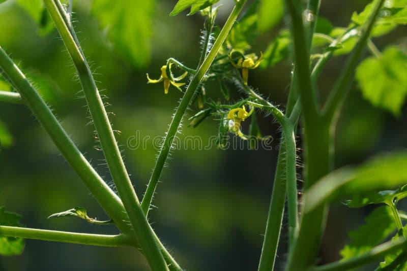 En tomatblomma som är klar för pollination royaltyfri foto