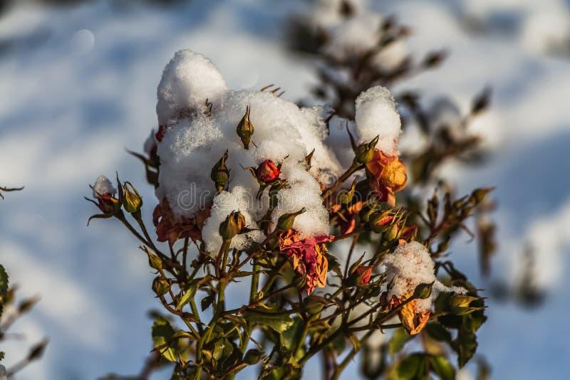 En torr bukett av röda rosor och röda och gröna knoppar med vit snö är på en suddig bakgrund för blå himmel royaltyfri bild
