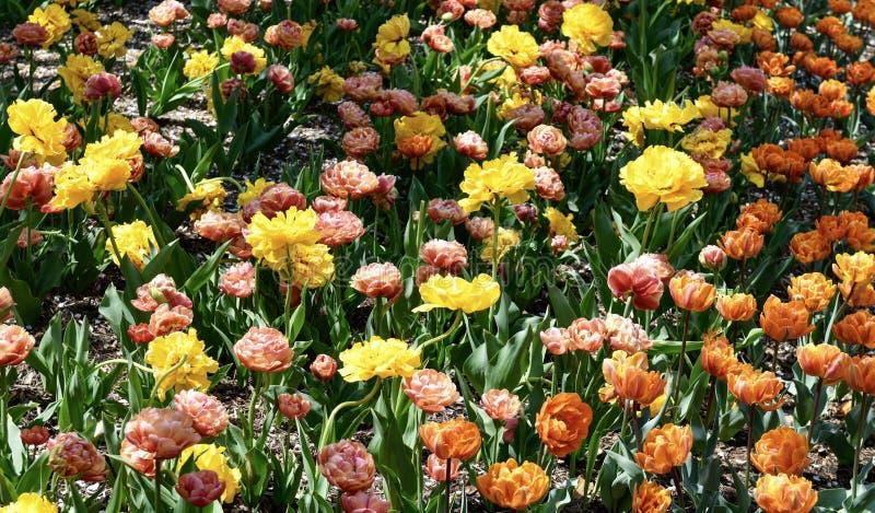 En trädgård av den orange prinsessan och gula Pomponette tulpan arkivbilder