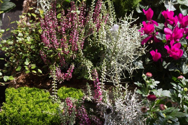 En trädgård med härdade erica för vinter växter - Ericaceae royaltyfria foton