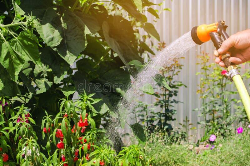 En trädgårdsmästare med en bevattna slang och ett sprejarevatten blommorna i trädgården på en solig dag för sommar Spridareslang  royaltyfri fotografi