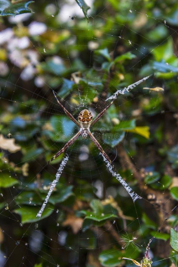 En tr?dg?rds- spindel arkivfoto