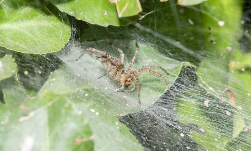 En tratt Weaver Spider Agelenidae Waiting för rov i en tät växt fotografering för bildbyråer