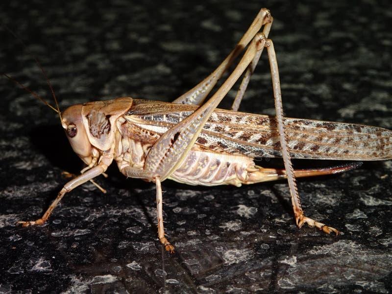 En trevlig gräshoppa i förgrunden royaltyfri foto