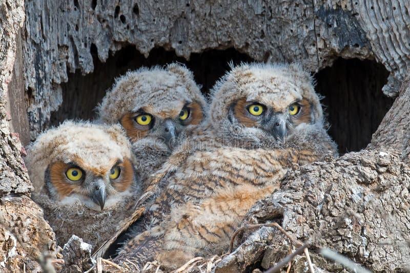 En trio av stora uggleungar för Horned ugglor i rede royaltyfri bild