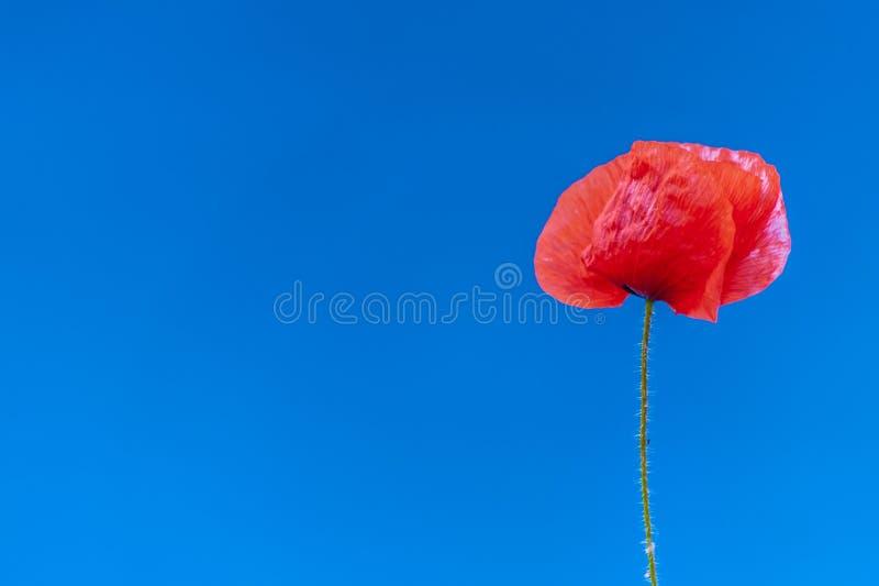 En tunn röd vallmoblomma på naturlig blå bakgrund, med placeholder fotografering för bildbyråer