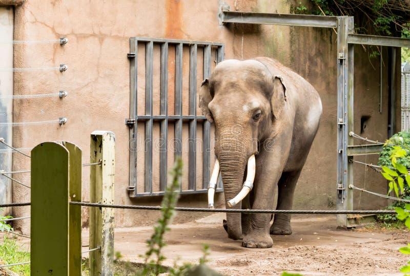 En tusked manlig Elephasmaximus för asiatisk elefant, kallade också den Asiat elefanten Den asiatiska elefanten har listats som u fotografering för bildbyråer