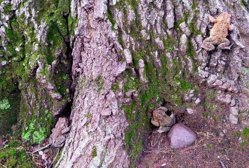 En två, tre paddor på ett träd royaltyfri bild