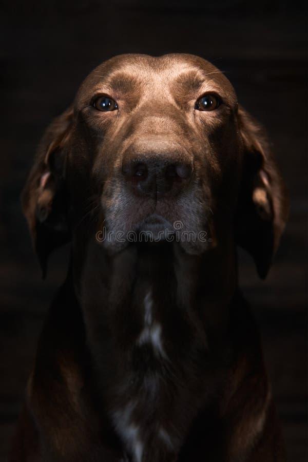 En tysk Shorthaired pekare När han jagar inte fåglar, är han hushållhusdjuret fotografering för bildbyråer