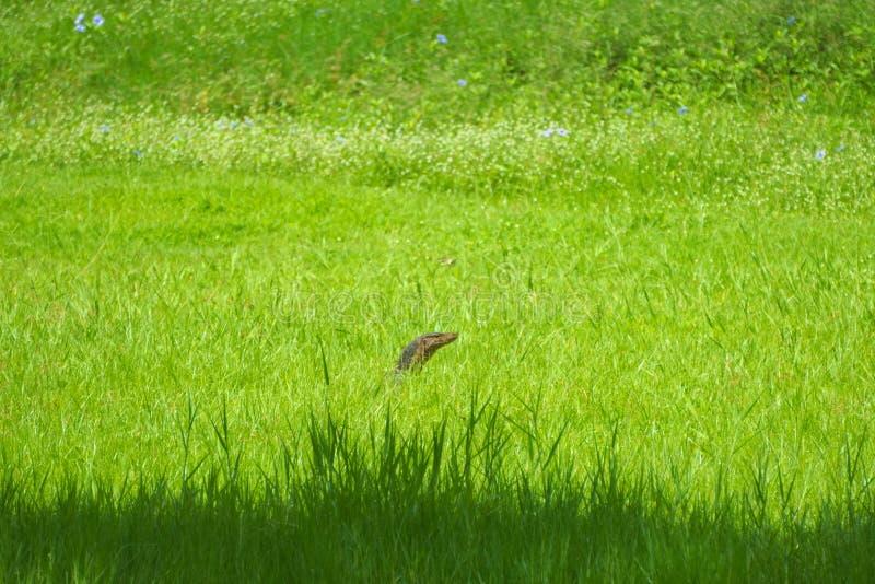 En un campo herboso-verde, pone una amenaza ocultada del lagarto de monitor, con solamente su cabeza apareciendo imagen de archivo libre de regalías