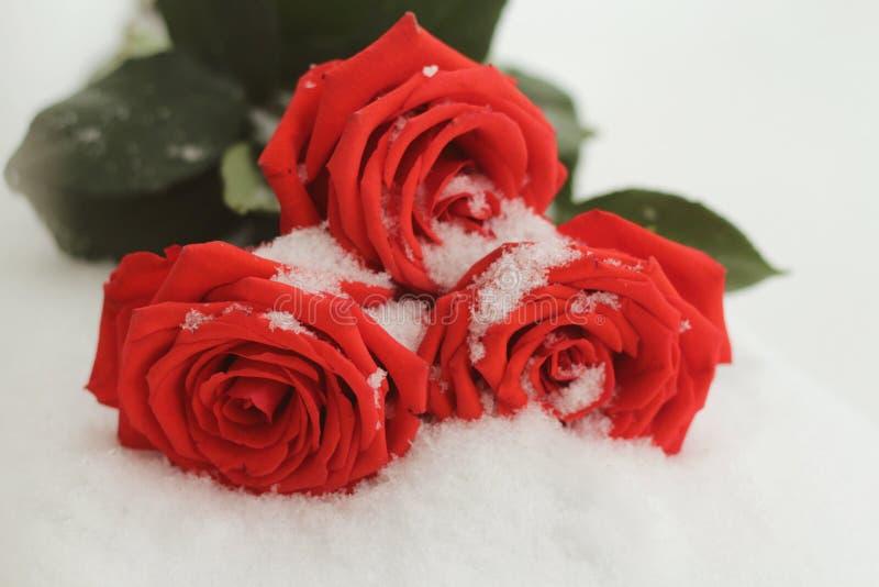En un día de invierno que miente en las rosas rojas hermosas nevosas de la nieve fotos de archivo