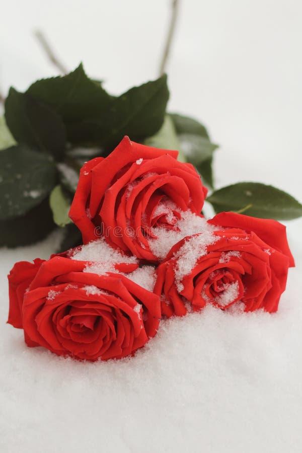 En un día de invierno que miente en las rosas rojas hermosas nevosas de la nieve fotografía de archivo libre de regalías
