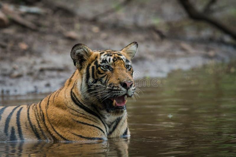 En una estación de la monzón y en un día lluvioso este cachorro de tigre masculino que se relaja en naturaleza en la reserva del  foto de archivo