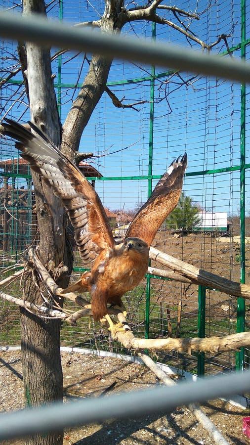 En una jaula en una rama de un águila imagen de archivo