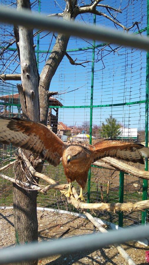 En una jaula en una rama de un águila foto de archivo libre de regalías