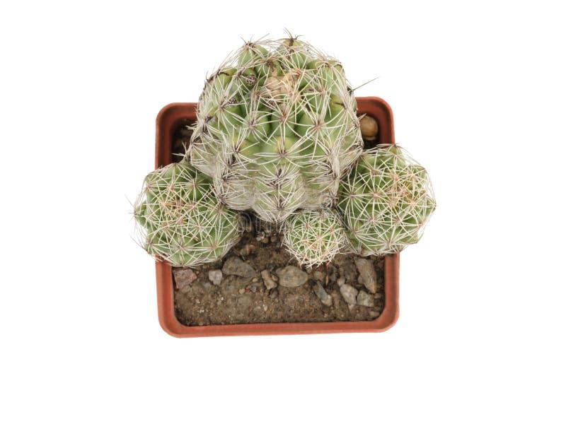 En una maceta están algunos cactus espinoso verde Aislado en blanco Primer Visión superior imagen de archivo