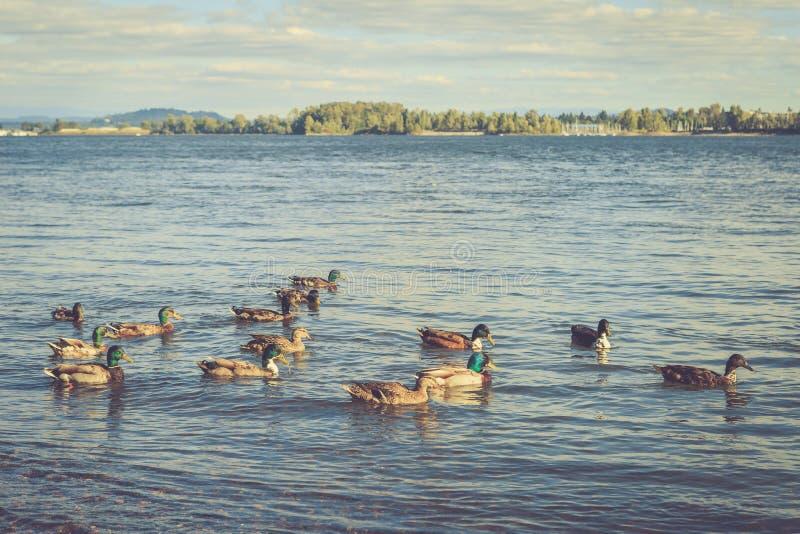 En undersökning av vilda ankor finns i floden arkivfoton