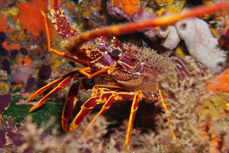 En undervattens- medelhav för taggig hummer royaltyfri fotografi
