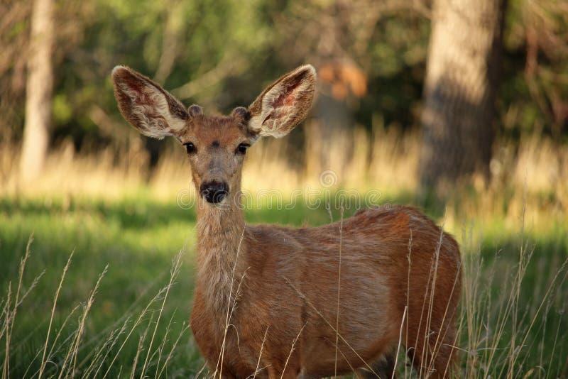 En ung bock för mulahjortar lyssnar försiktigt med stora öron arkivfoton