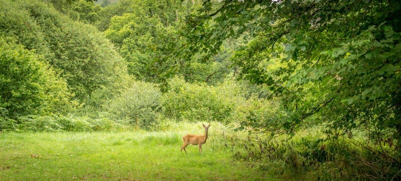 En ung ensam hjort omkring som skriver in en skog royaltyfri fotografi